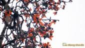 Hoa gạo thắp lửa góc trời Hà Nội