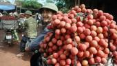 Thu hoạch vải ở Bắc Giang: Được mùa vẫn lo