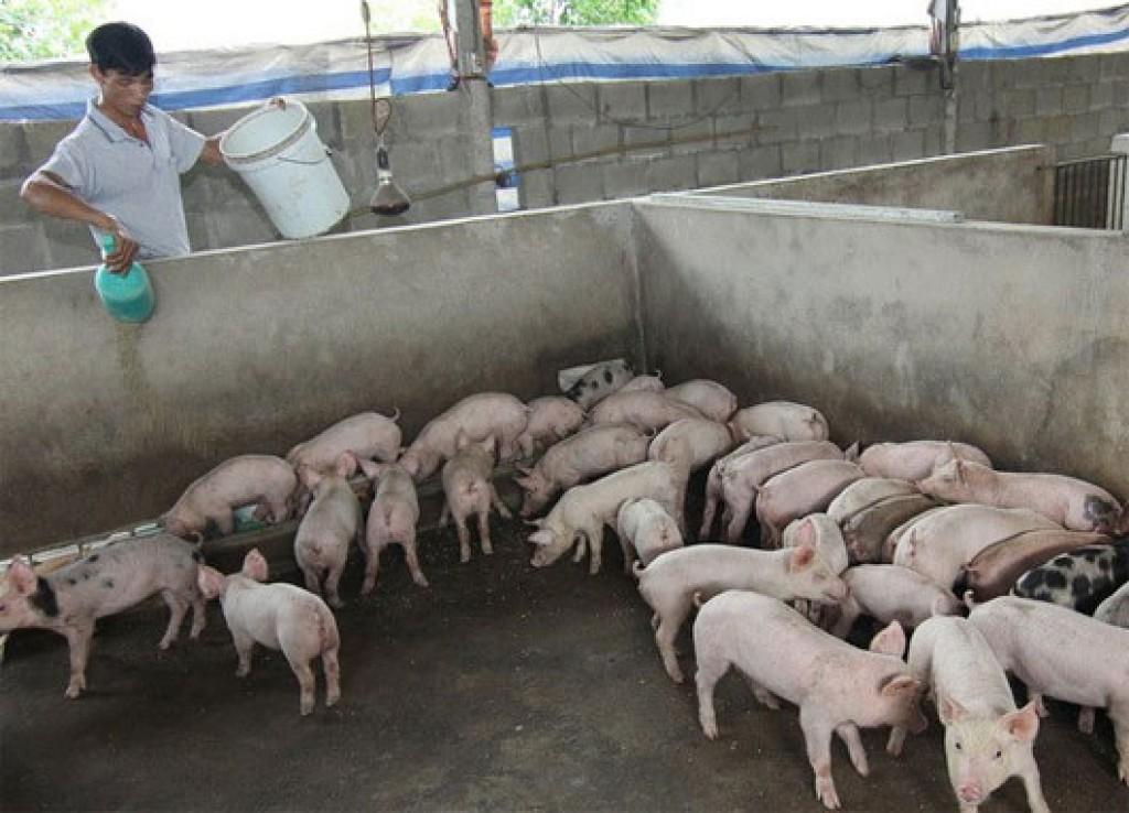 Thương lái Trung Quốc dừng mua lợn hơi: Bài học đau, vẫn chưa thấu