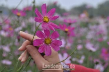 Ngất ngây với vẻ đẹp của loài hoa mang biểu tượng của mùa xuân