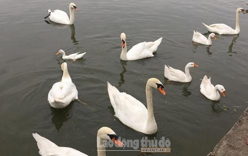 Chiều mùng 4 Tết, đàn thiên nga bất ngờ 'phủ trắng' ven hồ Thanh Hà