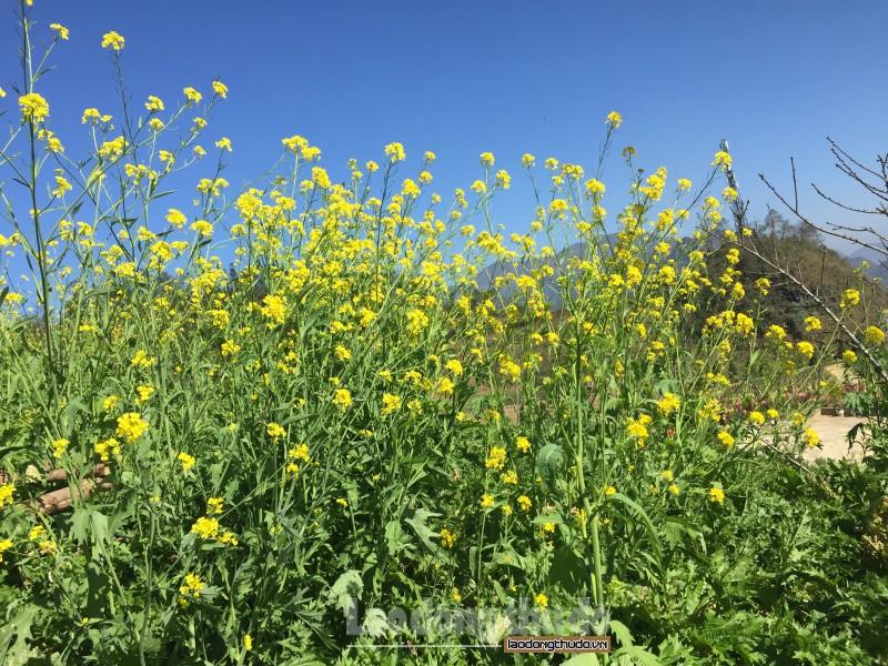 Ngắm hoa cải vàng rực trên núi Mường Hoa