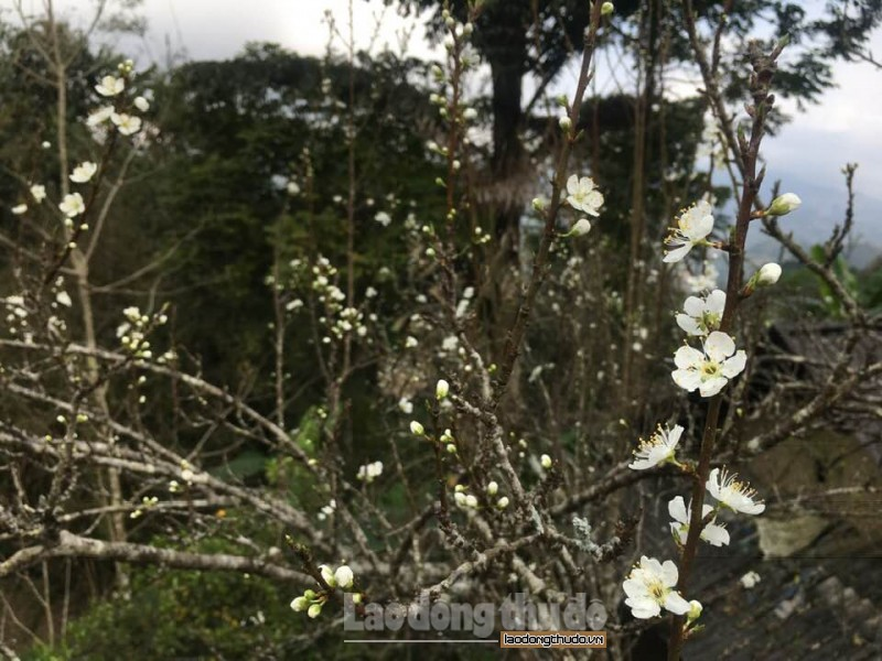 Bắc Hà: Cao nguyên trắng đắm mình trong Xuân