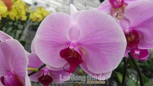 """Ngất ngây với loài hoa """"Nhất giả chi hương"""" trong Lễ hội Hoa Lan Xuân Kỷ Hợi"""