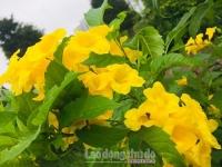 Ngẩn ngơ sắc vàng hoa huỳnh liên ven hồ Hà Nội