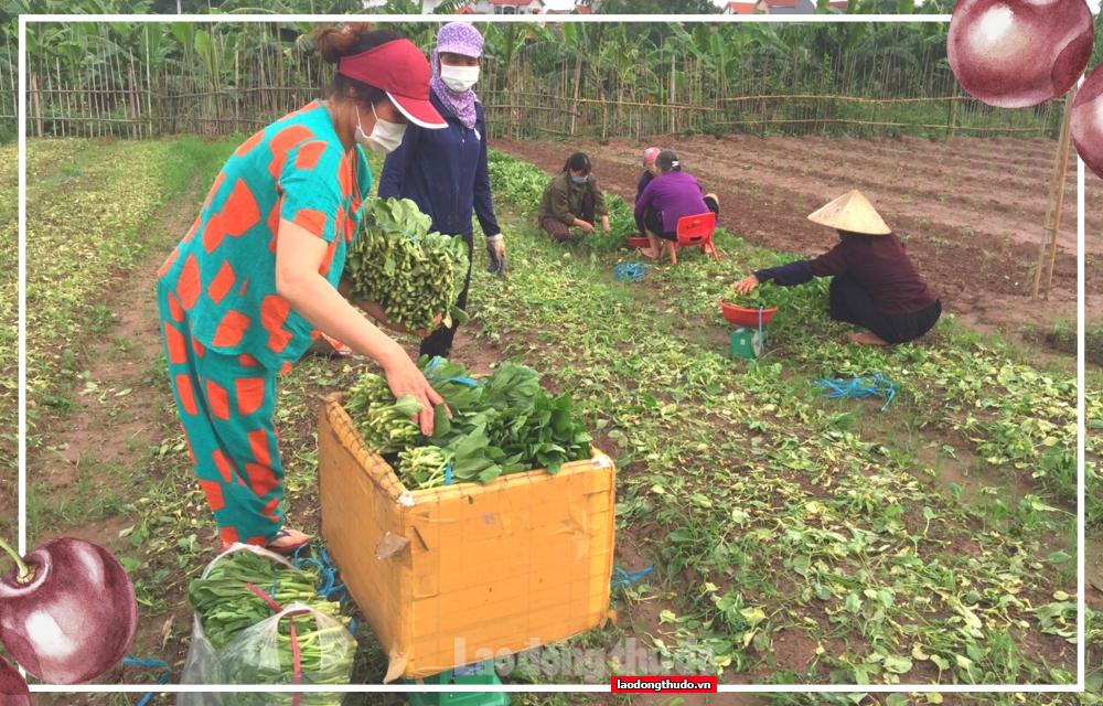 Vùng xanh nông nghiệp tập trung sản xuất đảm bảo chuỗi cung ứng cho cả thành phố