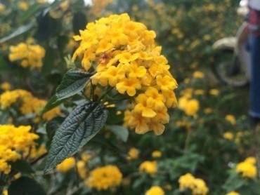 Ngỡ ngàng với vẻ đẹp của hoa Ngũ sắc trên núi Ba Vì