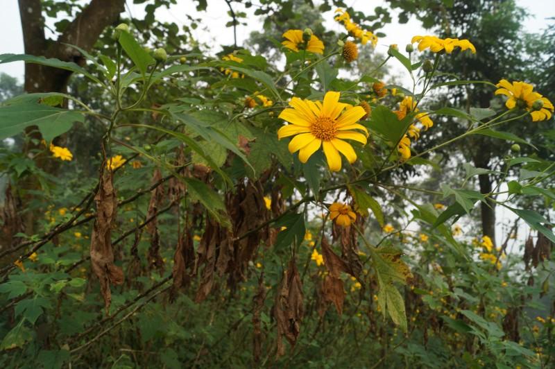 Hoa dã quỳ cuối mùa: Vẻ đẹp của sự úa tàn