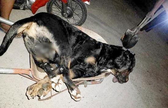 Nghệ An: Rắn hổ mang cắn chết chó Pitbull nặng gần 60kg