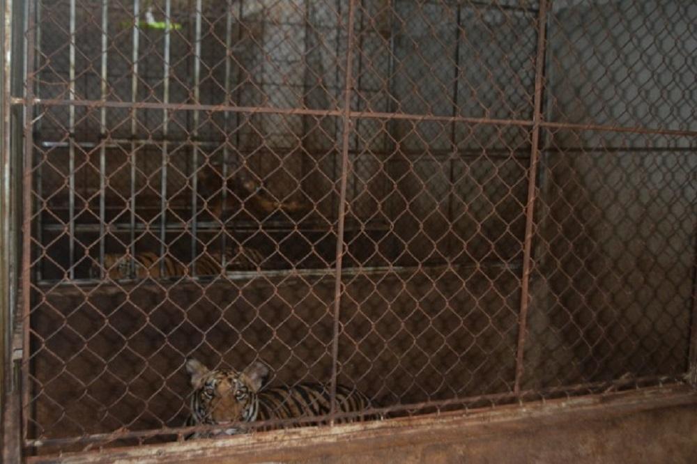 Nghệ An: Thông tin thêm về vụ thu giữ 17 cá thể hổ nuôi nhốt ở huyện Yên Thành