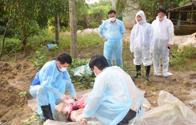 Thừa Thiên Huế: Tiêu hủy đàn lợn rừng nhiễm dịch tả châu Phi