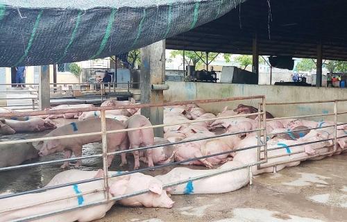 Quảng Trị: Tiếp tục phát hiện ổ dịch tả lợn châu Phi