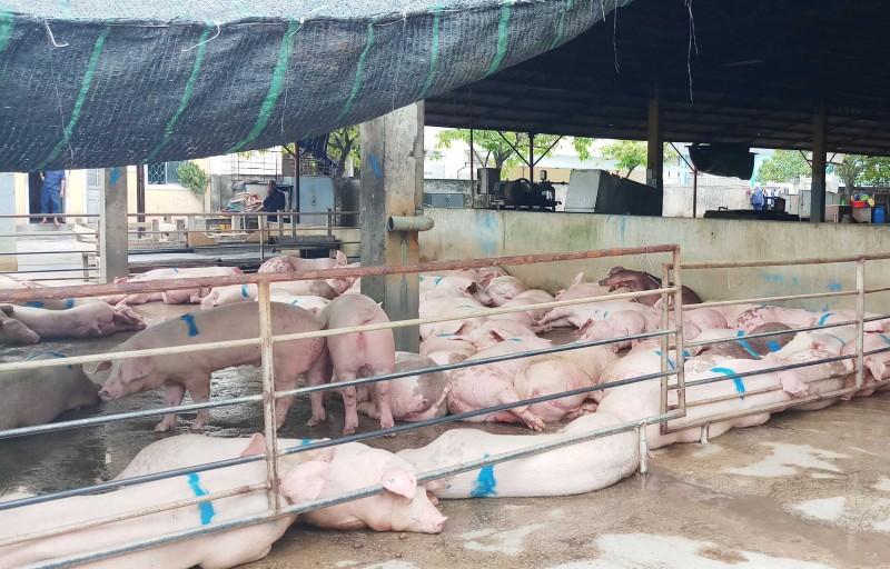 Huế lại có thêm 2 ổ dịch tả lợn châu Phi