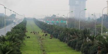 Hàng chục con bò nhẩn nha gặm cỏ trên Đại lộ Thăng Long