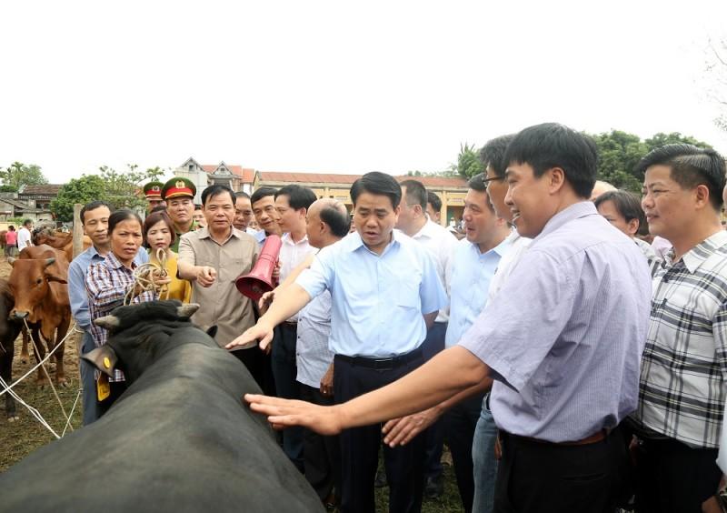 Nhiều tiềm năng phát triển chăn nuôi bò chất lượng cao tại Ba Vì