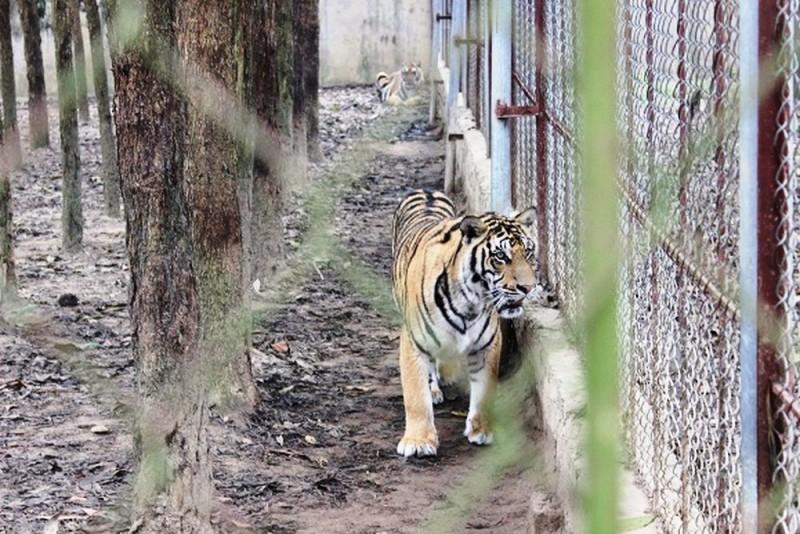 Công tác bảo tồn hổ đang gặp nhiều khó khăn
