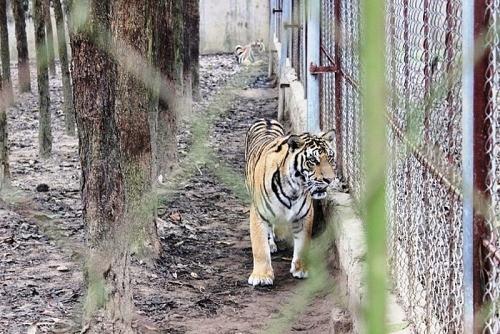 Hổ ngoài tự nhiên của Việt Nam còn dưới 5 cá thể