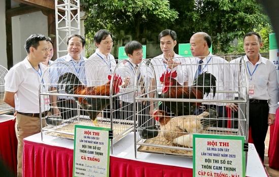 Sôi nổi hội thi gà Mía Sơn Tây lần thứ nhất năm 2020