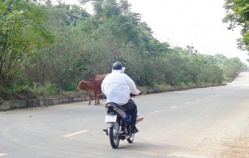 Nguy cơ tai nạn từ gia súc thả rông trên đường