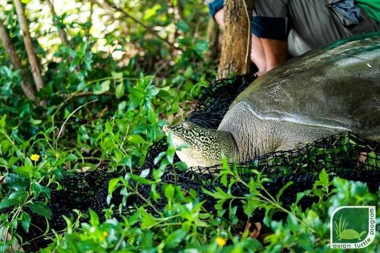 Xác định giới tính rùa Hoàn Kiếm ở Đồng Mô