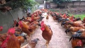 Chất tạo nạc Cysteamine chính thức bị cấm trong chăn nuôi
