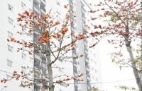 """Hoa gạo """"thắp lửa"""" đỏ rực giữa Khu đô thị Thanh Hà"""