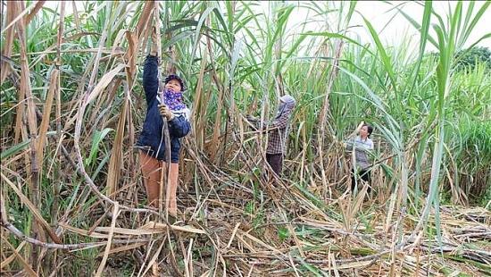 Đường Thái Lan ồ ạt vào Việt Nam: Người trồng mía chịu nhiều thua thiệt
