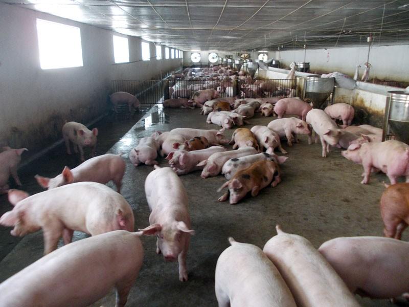 Nêu 3 giải pháp cân bằng cung, cầu thị trường lợn