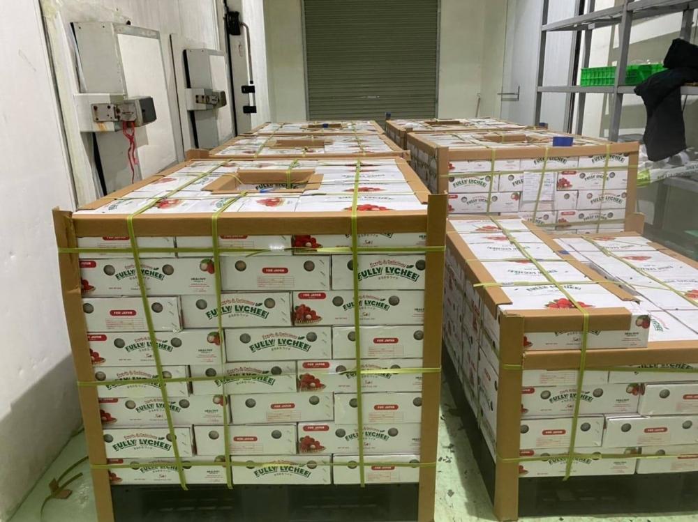 Khoảng 1.000 tấn vải thiều tươi dự kiến sẽ được xuất khẩu sang Nhật Bản