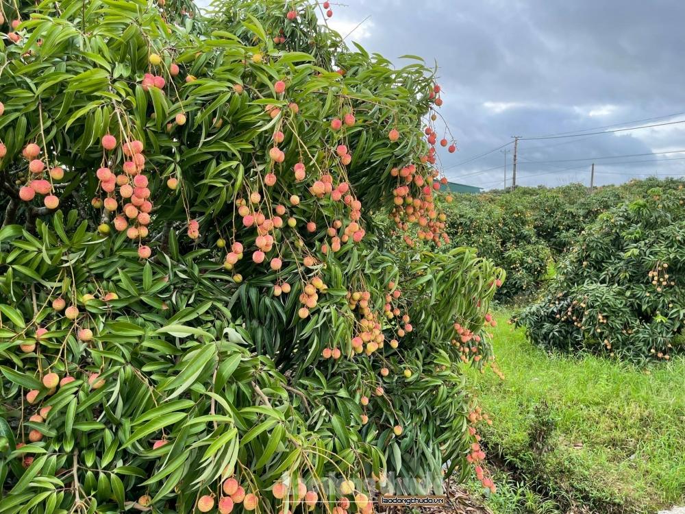 Quản lý thị trường Hà Nội chung tay hỗ trợ tiêu thụ nông sản cho người dân vùng dịch