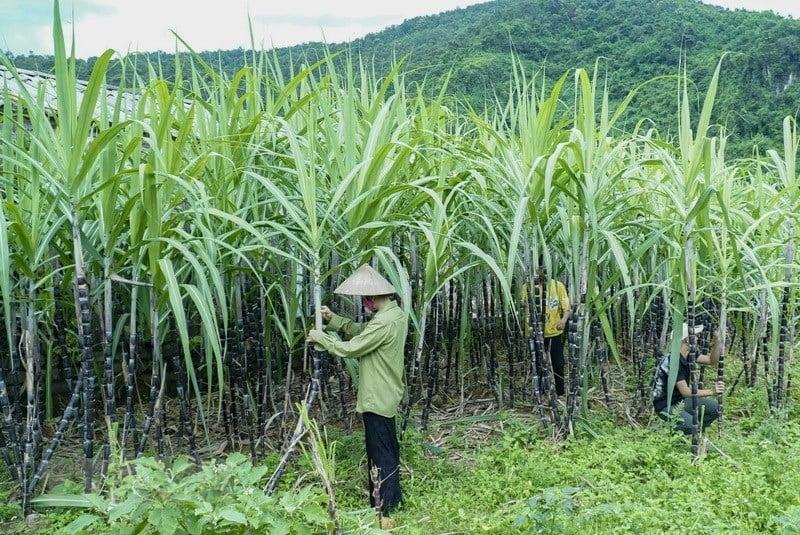 Việt Nam chính thức áp thuế chống bán phá giá với đường mía từ Thái Lan
