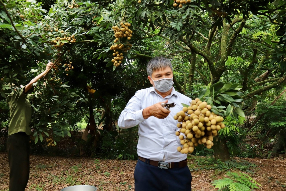 21 quốc gia, vùng lãnh thổ tham gia hội nghị kết nối cung cầu, tiêu thụ nhãn và nông sản tỉnh Hưng Yên