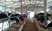 55/63 địa phương cam kết không sử dụng chất cấm trong chăn nuôi