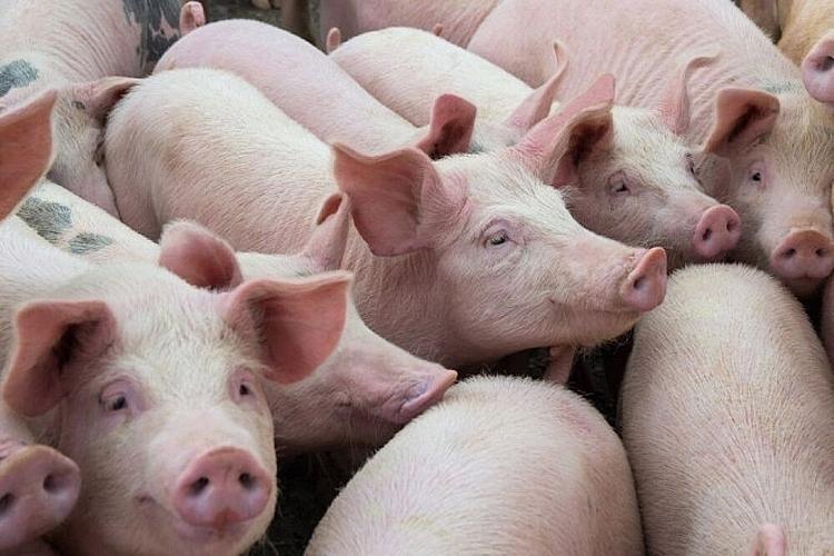 Giá lợn hơi lại bật tăng lên mức 84.000 đồng/kg