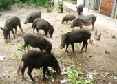 Phát triển và bảo tồn các giống lợn bản địa Việt Nam