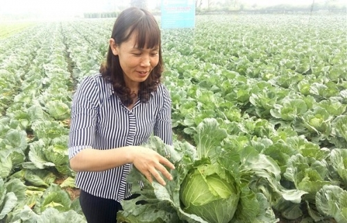 Tiếp tục triển khai mô hình trồng thử nghiệm rau Hàn Quốc tại huyện Gia Lâm