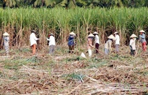 Cơ hội nào cho ngành mía đường?