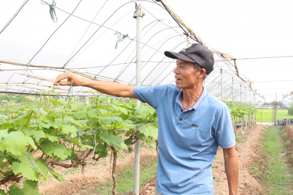 Làm giàu nhờ trồng nho Hạ Đen