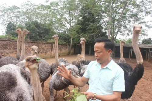 Ba Vì phát triển chăn nuôi quy mô lớn