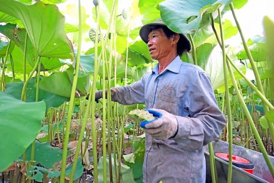 Làm giàu nhờ trồng sen lấy hạt
