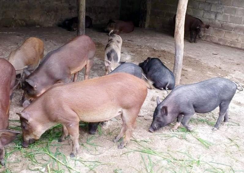 Nỗi lo thiếu thịt lợn, chuyện thật như đùa!