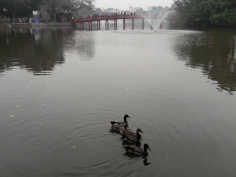 'vịt trời' tung tăng bơi lội trên hồ Hoàn Kiếm