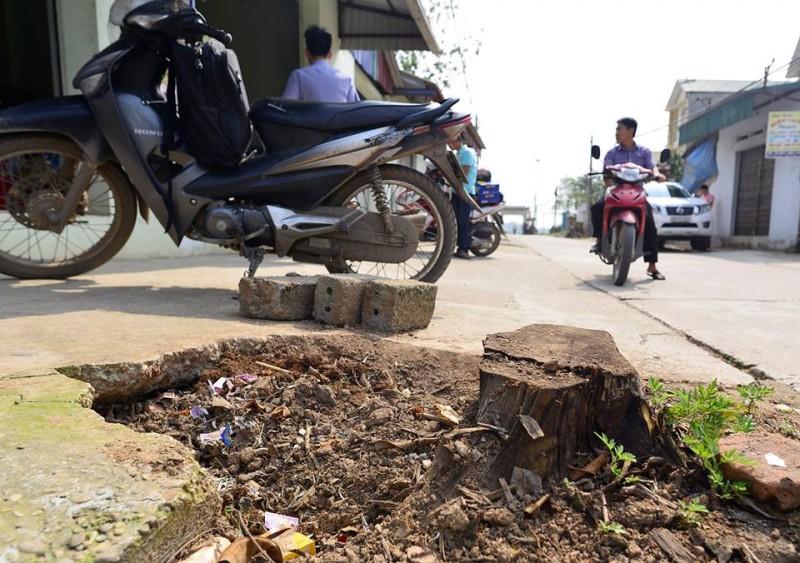 Đề nghị xem xét trách nhiệm trong vụ chặt cây tại Thạch Thất