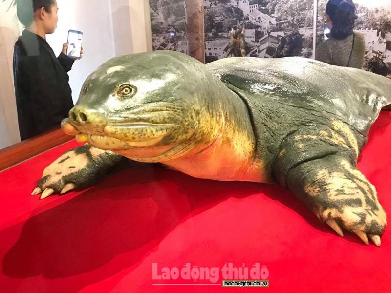 Đưa tiêu bản cụ rùa hồ Gươm về trưng bày tại đền Ngọc Sơn