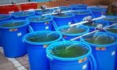 'Cấy' tảo lục tại hồ Hoàn Kiếm