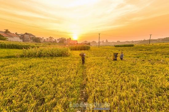 Nông dân Hà Nội tất bật với mùa vàng