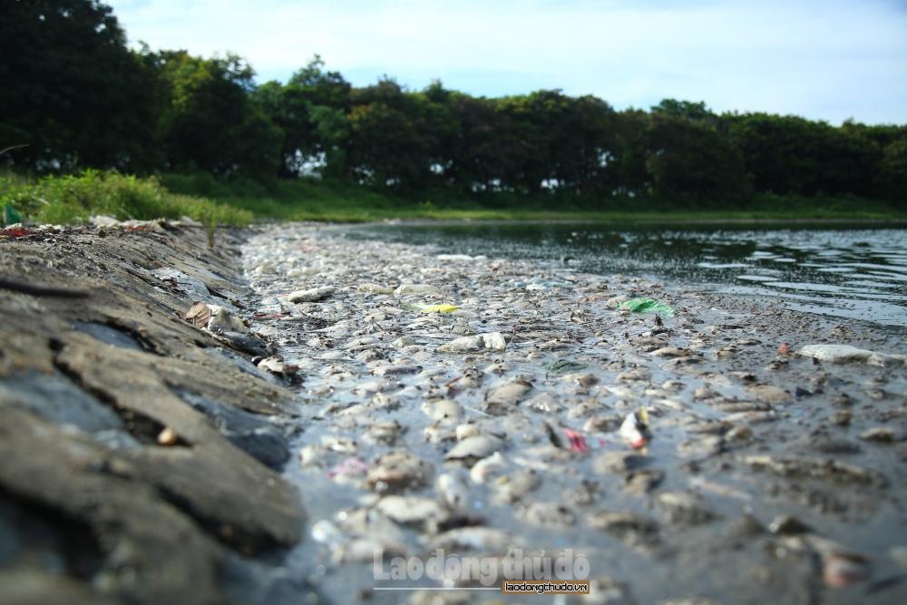 Hà Nội: Cá chết trắng tại hồ Yên Sở là do thay đổi thời tiết