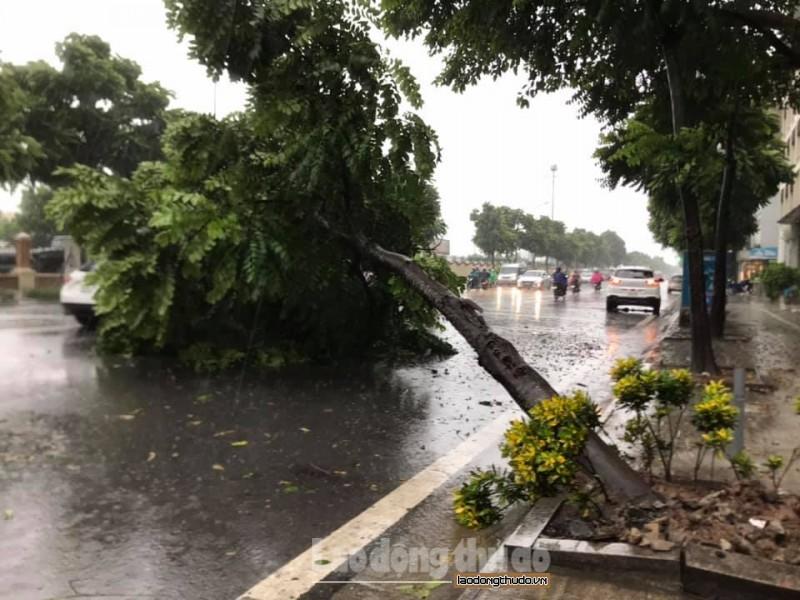 Hà Nội: Tăng cường quản lý, phòng ngừa cây gãy đổ sau mưa dông
