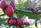 Trái cây 'độc', lạ: Giá trên trời, chất lượng khó kiểm chứng