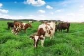 Sắp khánh thành trang trại bò sữa chuẩn Organic tại Việt Nam